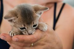 Adorable Abyssinian little kitten on a hands.  Royalty Free Stock Image