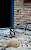 Adorable African Penguin making way across rocks Royalty Free Stock Photo