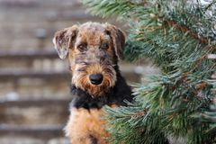Adorable airedale terrier puppy outdoors in winter. Airedale terrier puppy outdoors in winter stock images