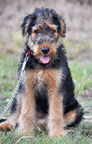 Adorable Airedale Terrier 10 week puppy portrait Royalty Free Stock Photos