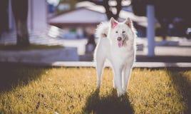 Adorable, Akita, Animal, Breed, Stock Photo