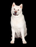 Adorable Akita Dog Sitting Over Black Background Royalty Free Stock Photo
