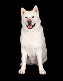 Adorable Akita Dog Smiling Over Black Background Stock Photo
