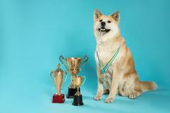 Adorable Akita Inu dog with champion trophies and medals