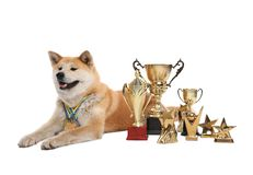 Adorable Akita Inu dog with champion and medals on white background