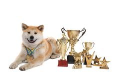 Adorable Akita Inu dog with champion trophies and medals on background