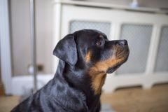 Adorable alert Rottweiller side profile waiting for a treat stock photos