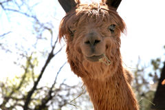 Adorable Alpaca. A cute alpaca with hay in her mouth Stock Photography