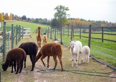 The adorable alpacas on the farm, some recently sheered wooly alpaca royalty free stock photo