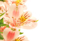 Adorable alstroemeria. Horizontal alstroemeria isolated on white background Stock Photography