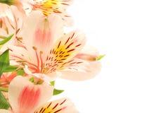 Adorable alstroemeria Stock Photography