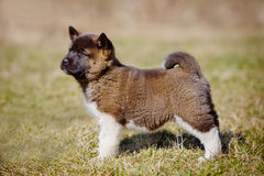 Adorable american akita puppy Stock Photo