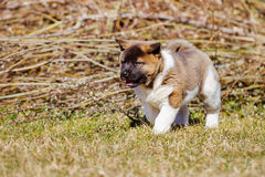 Adorable american akita puppy Royalty Free Stock Photos