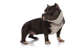 Adorable american bully with collar looks behind while standing. On white background stock photo