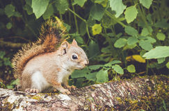Adorable American Red Squirrel Stock Images