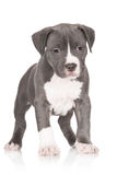 Adorable american staffordshire terrier puppy Stock Images