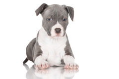 Adorable american staffordshire terrier puppy Royalty Free Stock Photography