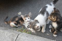 Three young cute kittens playing in Royalty Free Stock Photo