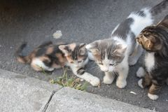 Three young cute kittens playing in stock photo