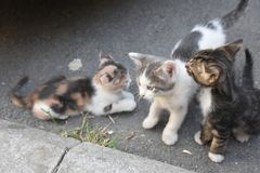 Three young cute kittens playing in Stock Images