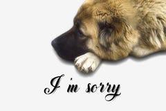 I`m sorry card. Adorable,animal,background,beautiful,big,black,breed,brown,caucasian sheepdog,cute,dog,domestic,eyes,face,fluffy,friend,fur,hair,head,home royalty free stock photos