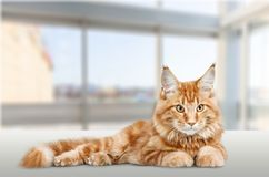 Adorable animal. Background beautiful brown carnivore cat close Royalty Free Stock Photo