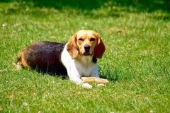 Adorable, Animal, Beagle Royalty Free Stock Photo