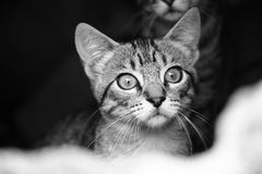 Adorable, Animal, Black-and-white Royalty Free Stock Photography