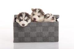 Adorable, animal, fondo, caja, raza, marrón, colmillo, cardboa Imágenes de archivo libres de regalías