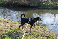 Adorable appenzeller mountain dog is standing on a lake in park stock image