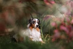 Adorable australian shepherd dog posing. In the park stock photos