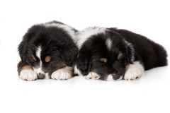 Two australian shepherd puppies sleeping on white. Adorable australian shepherd puppies on white royalty free stock photos