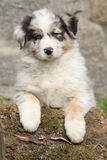 Adorable australian shepherd puppy Royalty Free Stock Photos