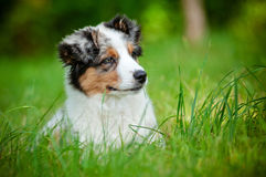Adorable australian shepherd puppy portrait Royalty Free Stock Photo