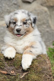 Adorable australian shepherd puppy smiling Stock Images