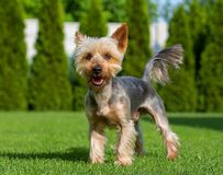 An adorable Australian Silky Terrier posing on fresh mowed lawn in hot summer sunny day. Dog standing on fresh cut grass. stock photo