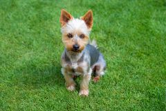 Adorable Australian Silky Terrier posing on fresh mowed lawn in summer day. Dog sitting on fresh cut grass waiting for the command royalty free stock photography