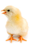Adorable baby chick Stock Photography