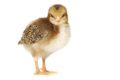 Adorable Baby Chick Chicken on White Background Stock Images