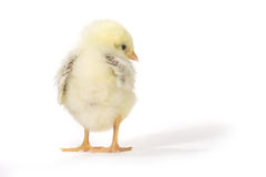 Adorable Baby Chick Chicken on White Background Royalty Free Stock Images