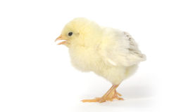 Adorable Baby Chick Chicken on White Background Royalty Free Stock Photos