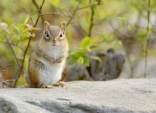 Adorable baby chipmunk Royalty Free Stock Photos