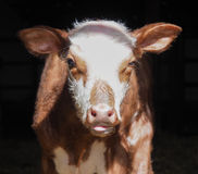 Adorable baby cow or calf, agricultural Royalty Free Stock Photography