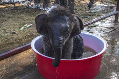 Adorable Baby elephant take a bath in the red bowl royalty free stock photography