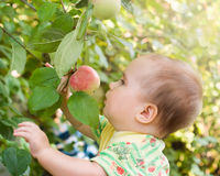 Adorable baby girl looking red apple Stock Photography