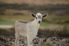 Adorable Baby Goat in Aruba Royalty Free Stock Photo