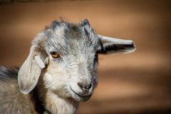 Adorable baby goat with floppy ears. Farm, spring, state fair and educational concepts royalty free stock images
