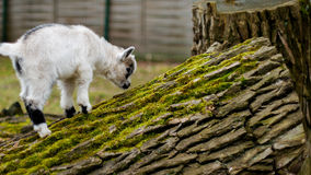 Adorable baby goat jumping around a pasture Royalty Free Stock Photography