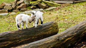 Adorable baby goat jumping around on a pasture. And felled tree Stock Photo
