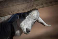 Adorable baby goat peeking out from under a split rail fence royalty free stock photos